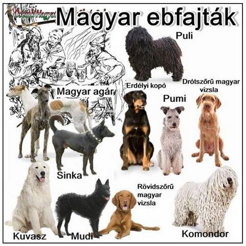 """Képtalálat a következőre: """"magyar kutyafajták képpel"""""""