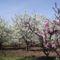 Gyümölcsöskert virágban