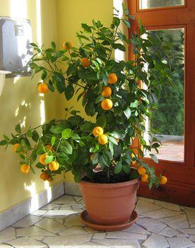 2011. januárjában érik a mandarin a Pannonhalma és Vidéke Takarékszövetkezet  Tápi Kirendeltségén