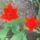 Holland_tulipan_1101176_7715_t
