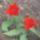 Holland_tulipan_1101181_6139_t