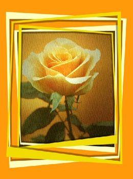 Rózsa ...