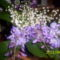 gyöngyvirág,lilaakác 001