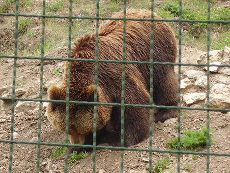 A nagy barna medve