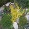 kecskerágó_sárga (talajtakarónak nevelve)
