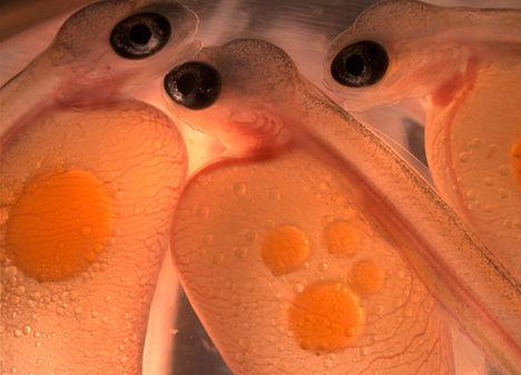Lazacembriók