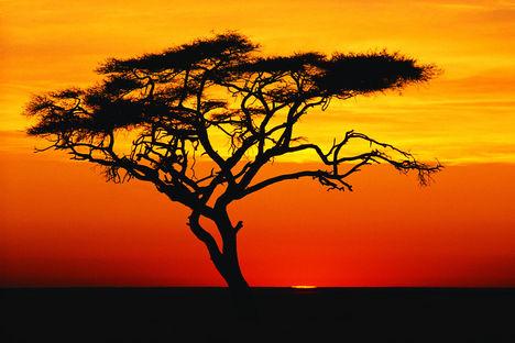 Acacia Tree at Sunset, Africa