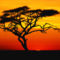 Acacia Tree at Sunset, Africa