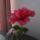 Classik_rosa_1102332_6869_t