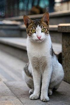 Egyiptomi cica