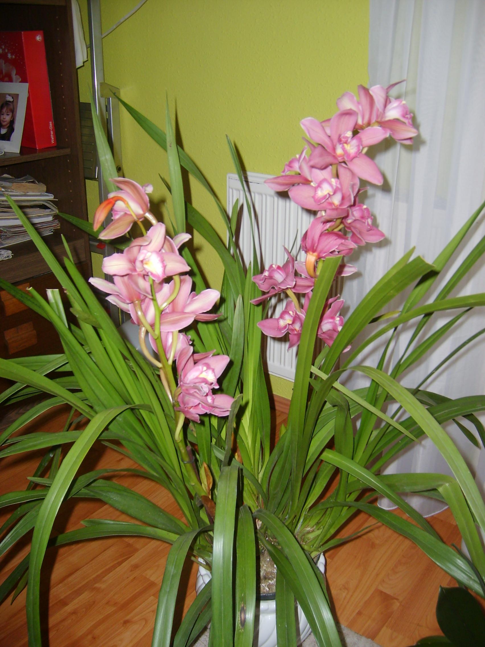 Orchidea cymbidium k p - Orchidee da esterno ...