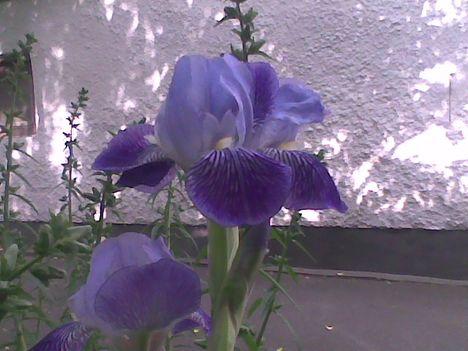 Kép009jgp Kék liliom