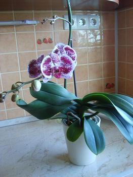 Orhideák 8