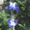 Kék Írisz