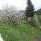 Virágban a szilvafánk