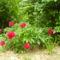 Pünközsdi rózsa a szőlőskertben