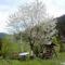 Virágzó cseresznyefánk