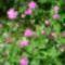 Piros mécsvirág