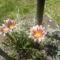 Napvirágaim