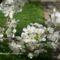 Meggyfa virágzata