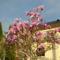 Pompázó tulipánfa (Magnóloia)