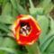 Tulipán kehely