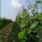 Tarcal szőlő lugas