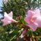 rózsasz