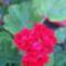 Kisvirágú muskátli
