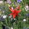 Az első liliom Red Night DSC02693