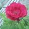 Ezzel a szál rózsával kívánok Szép Álmokat