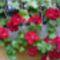 Ablakládában virágzik