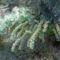 Különleges kékeszöld levelű bokor