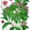 szantálfa
