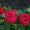 torpe rozsa