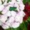 Aranyos rózsabogár 2