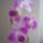 Dendrobium_1015342_1213_t