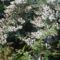 Kámoni arborétum, Gyöngyvirágcserje