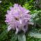 Kámoni Arborétum, Rododendron