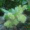 szölö virágzik