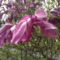 Tulipánfa 4