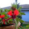denevérvirág 1