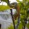 Gyűrűsfarkú maki