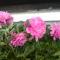 Az én pünkösdi rózsáim