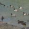 Vadkacsák a Dunaparton
