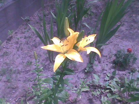 Kép002jpg Sárga liliom