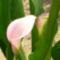 Rózsaszín kálla