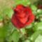 Egy szál rózsa mindenkinek jár 1