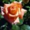 Egy szál rózsa mindenkinek jár 3
