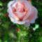 Egy szál rózsa mindenkinek jár 4